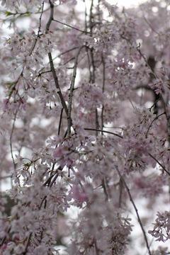 本門寺の桜