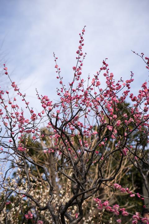 花ぞ昔の香に匂ひける
