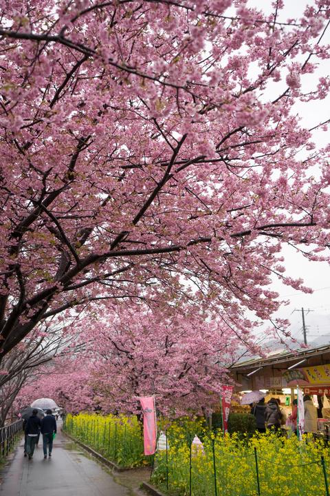 雨の河津桜