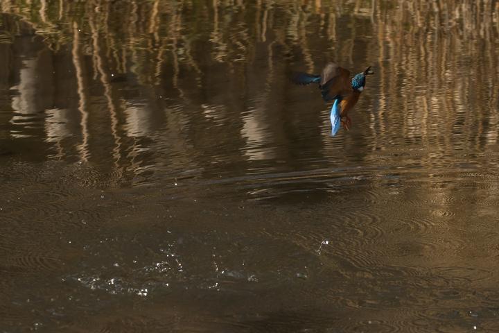 a blue diver